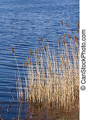 lakeside, reeds., agua, ondulación