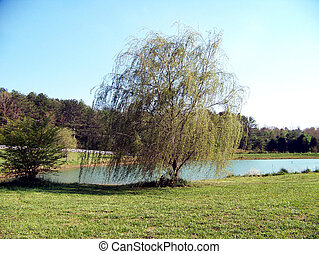 lakeside, saule pleureur