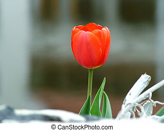 lakeside, tulipe