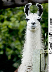 Lama - A curious white lama takes interest in the ...