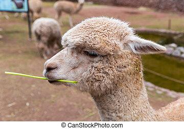 lama, Alpaka,  Vicuna,  Andean, peruwiański,  peru, południe, Ameryka,  camelid, Alpaka, zagroda, amerykanka, zwierzę, Alpaka, południe