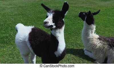 Lama and Lama baby grazing on meadow