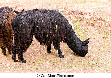 lama, andean, peruwiański, peru, america., camelid, alpaca., zagroda, amerykanka, animal.alpaca, południe