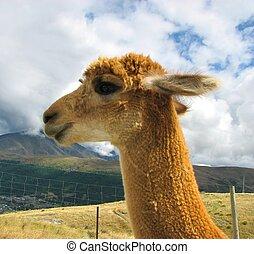 Lama baby in Deer park, New Zealand