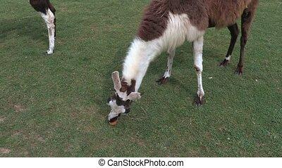 Lama eat apple on the grass