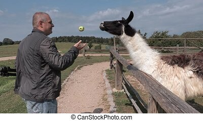 Lama eat apple out of hand of man