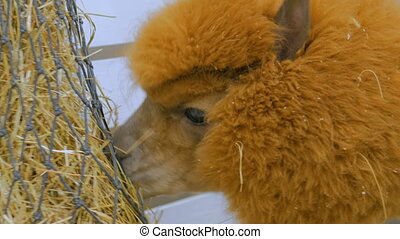 Lama eating hay in zoo near white wooden fence