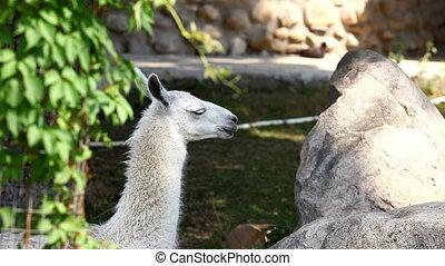 lama glama feed in zoo - close up