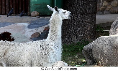 lama glama feed in zoo - llama alpaca feed in zoo