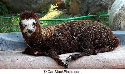 lama glama in zoo - llama alpaca in zoo