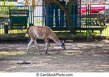 Lama guanaco (Lama guanicoe). Guanaco is a mammal of the ...