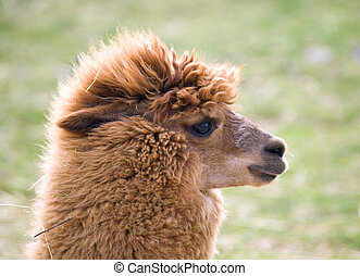 Lama guanaco - Lama guanicoe - Portrait of domesticated ...