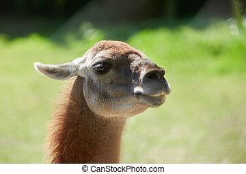 Lama guanicoe close up view