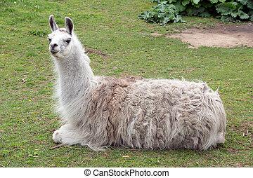 Lama in an enclosure