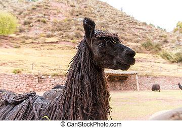 lama, lama, Alpaka,  Vicuna,  Andean, zagroda, zwierzę, lama,  peru, południe, Ameryka,  camelid, peruwiański, amerykanka, południe