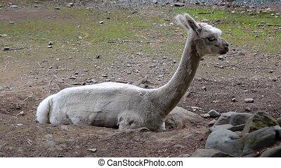 Lama Laying on the Ground