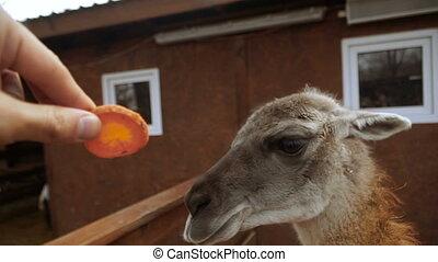 Lama. Muzzle of the Llama