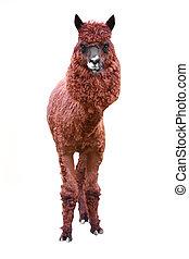 lama isolated on a white background