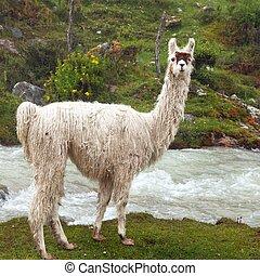 lama, retrato, montañas, animal, andes, o, uno, llama