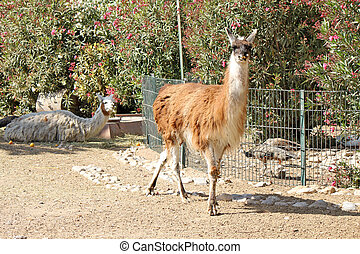 Lama standing on the ground