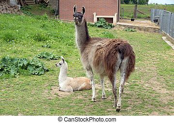 Lama with baby in an enclosure