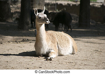 lama - Lama on vacation lying on the ground