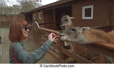 Lama. The girl feeds Lamu