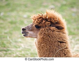 Lama uanaco - Lama guanicoe - Head of domesticated Llama - ...