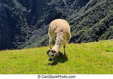 lama, w, przedimek określony przed rzeczownikami, peruwiański, góry andów