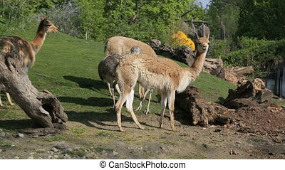 Lamas and nandu on the hillside - Lamas and nandu (lat....