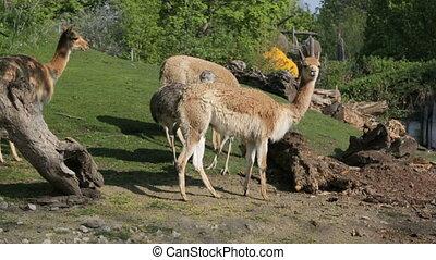 Lamas and nandu on the hillside