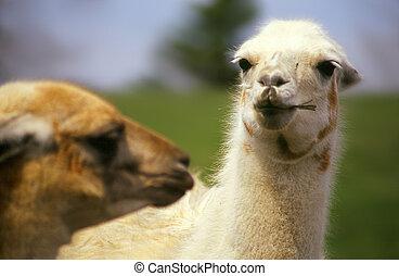 lamas, deux