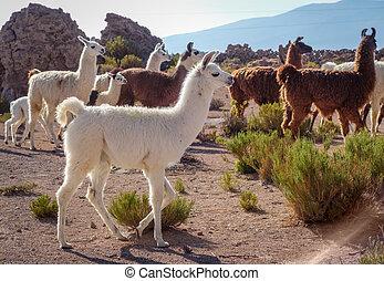 Lamas herd in Bolivia - Lamas Lamas herd in Eduardo Avaroa ...