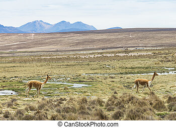 lamas in Andes, Mountains, Peru