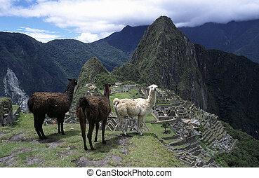 Machu Picchu - Lamas in Machu Picchu