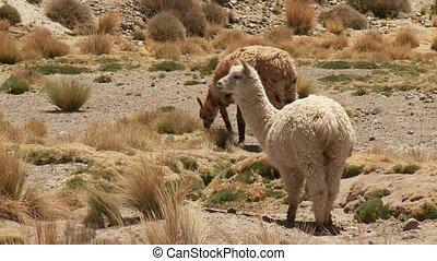 Lamas In South America (Peru)