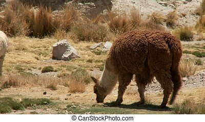 Lamas In South America (Peru)