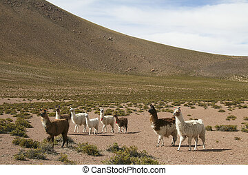 Lamas in the altiplano near the Bolivian border in north Chile, San Pedro de Atacama