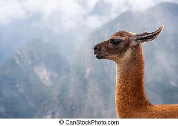 lama's, portret, na, góry, tło, w, peru.