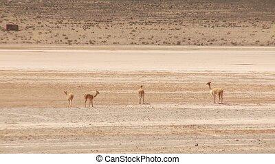 Lamas (Vicunjas) in Peru