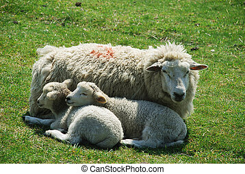 lamb and ewe - in England