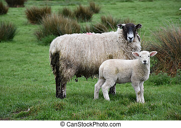 Lamb and Sheep Standing in a Damp Field
