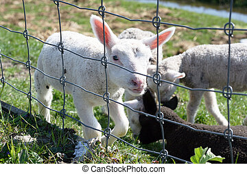 Lamb behind the fence