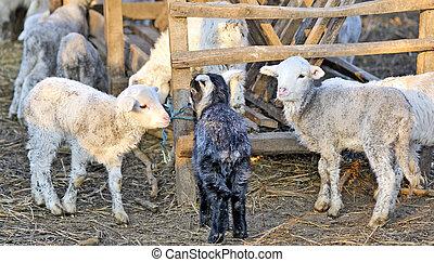 lamb eat inside stall