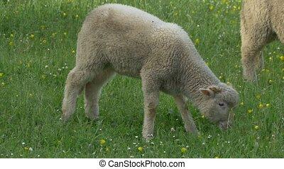 Lamb Grazing Fresh Grass