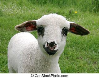Lamb ID card photo