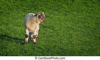 Lamb In Field On Sunny Day - Small woolly lamb standing in...