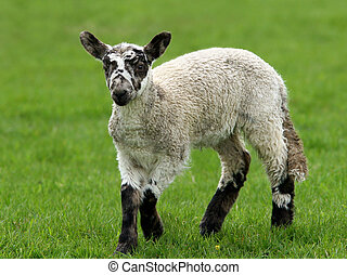 Lamb In Springtime