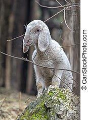 lamb in the farm