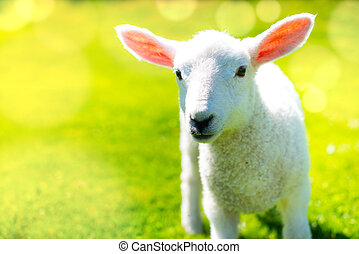 Lamb in the sunshine